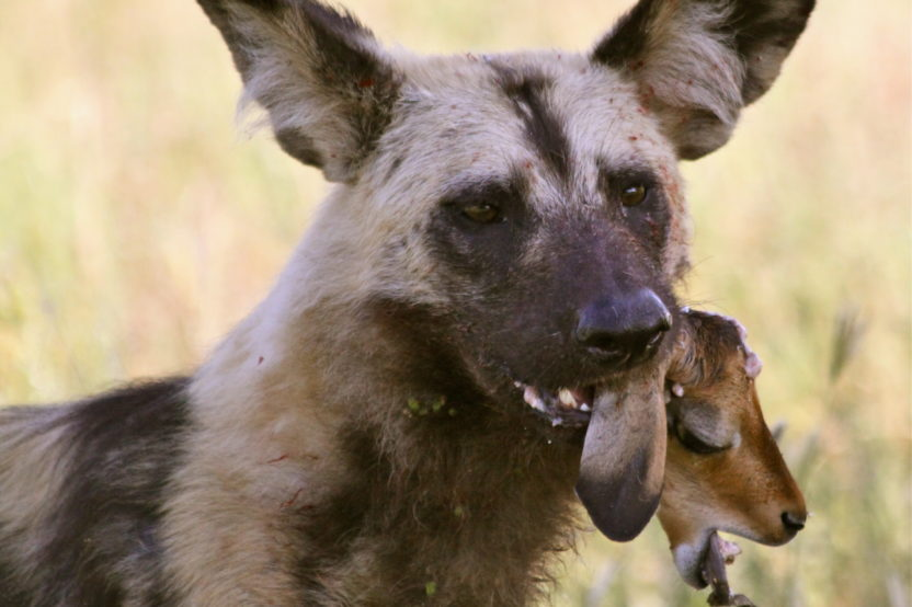 TRACKING AFRICAN WILD DOGS